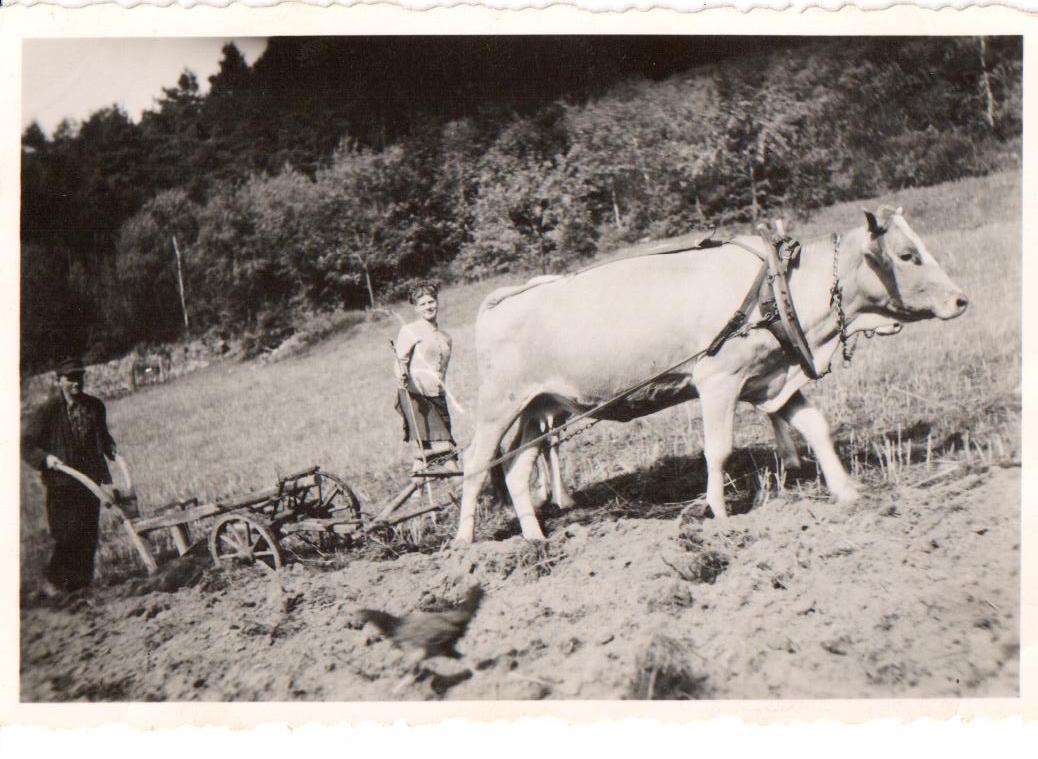 Kuh beim Ackerbau
